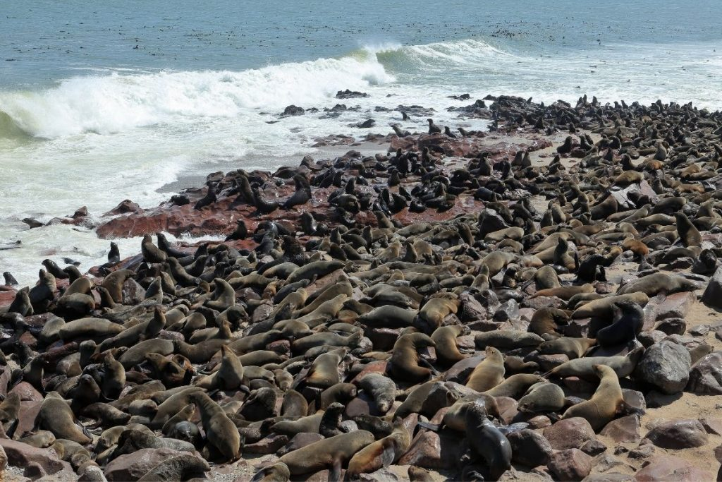 Cape Cross in Namibia seals