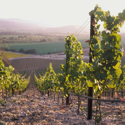 Los Olivos Vineyard