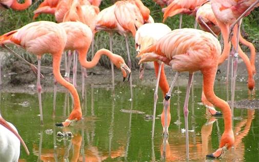 Biscayne Bay flamingos