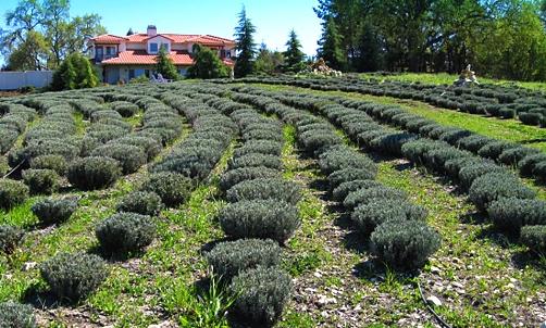 green acres lavender farm paso robles