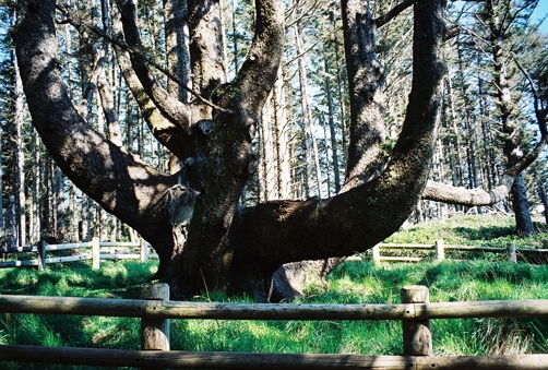 Octopus tree at Cape Meares State Scenic Viewpoint