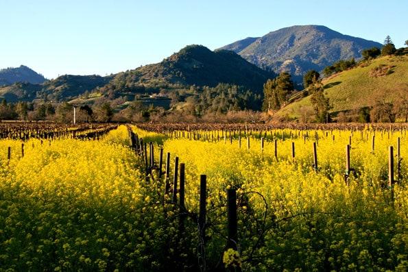 Calistoga, California mustard field
