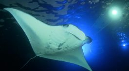 Off-The-Beaten-Path Hawaii Manta Ray experience