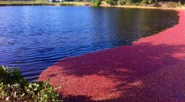 Long beach washington cranberry bog