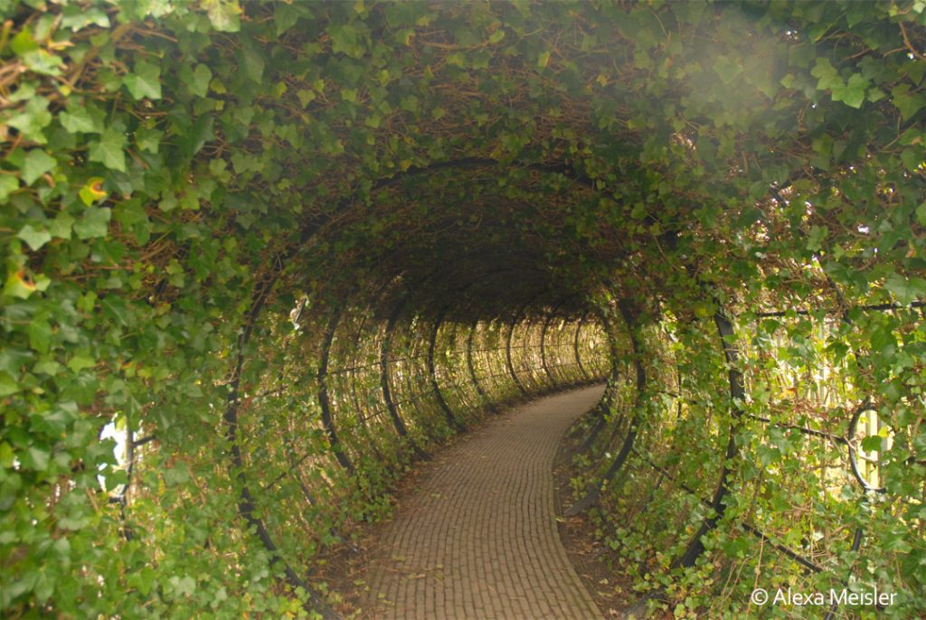 Alnwick garden ivy tunnel, in england