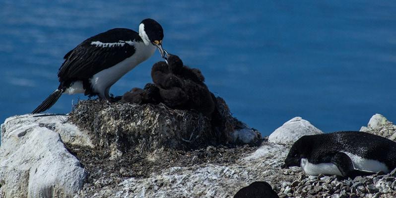 Shag bird in neko harbor in antarctica