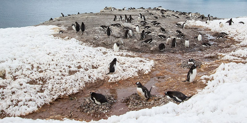 Penguines in Neko Harbor in Antarctica