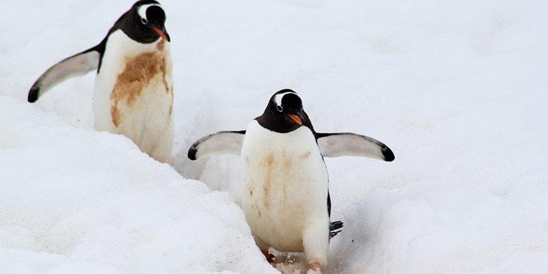 Penguins in Neko Harbor in Antarctica