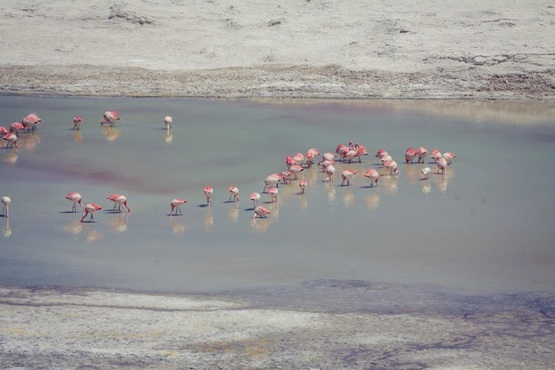 Atacama Salt Flat Flamingos in chile