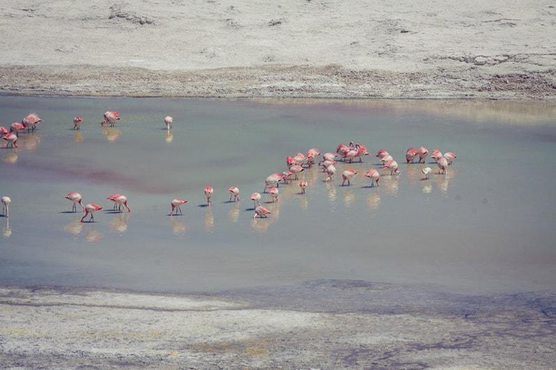 Atacama Salt Flat Flamingos in chile
