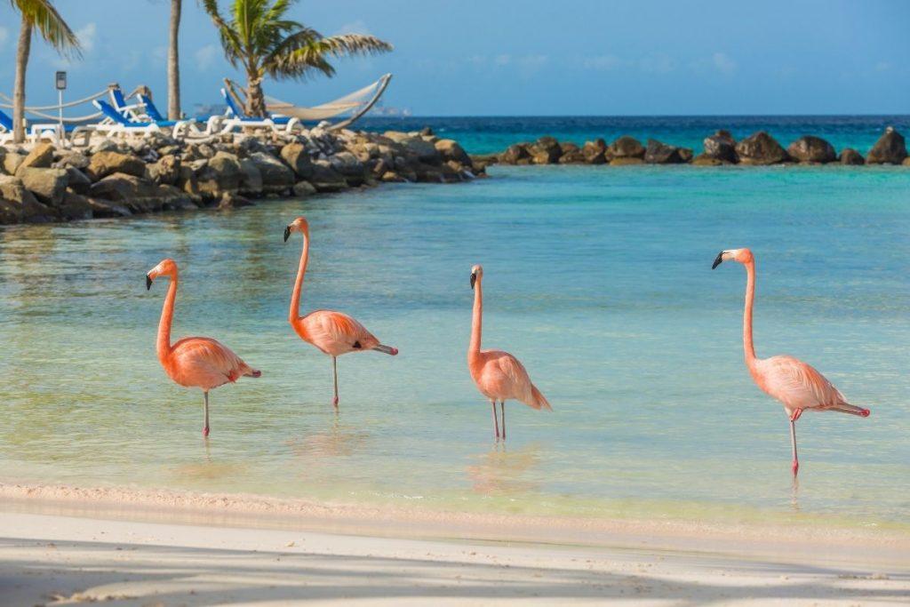 Pink flamingos in Aruba