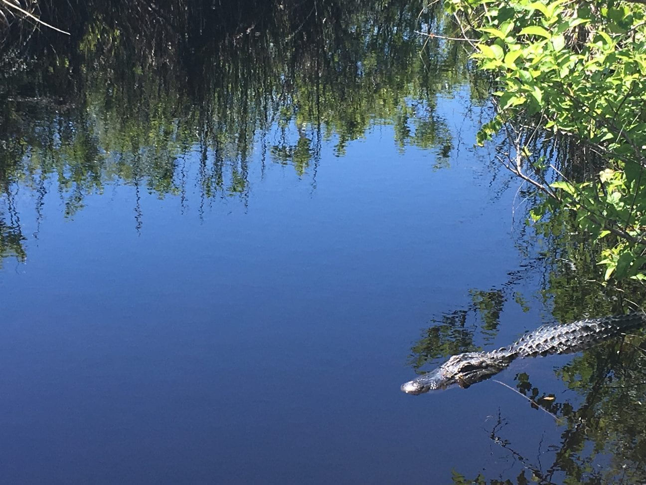 Lefty, the resident gator along the Hugh S. Branyon Backcountry trail in Gulf Shores, Alabama.