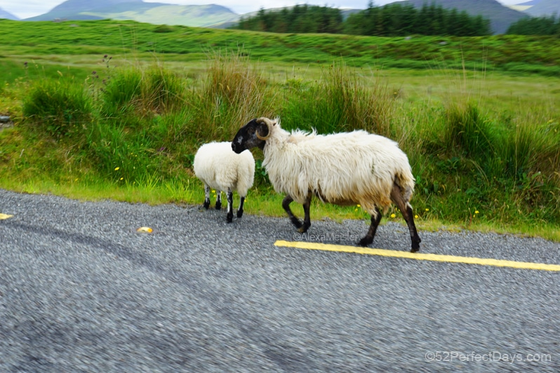 sheep crossing road in Ireland