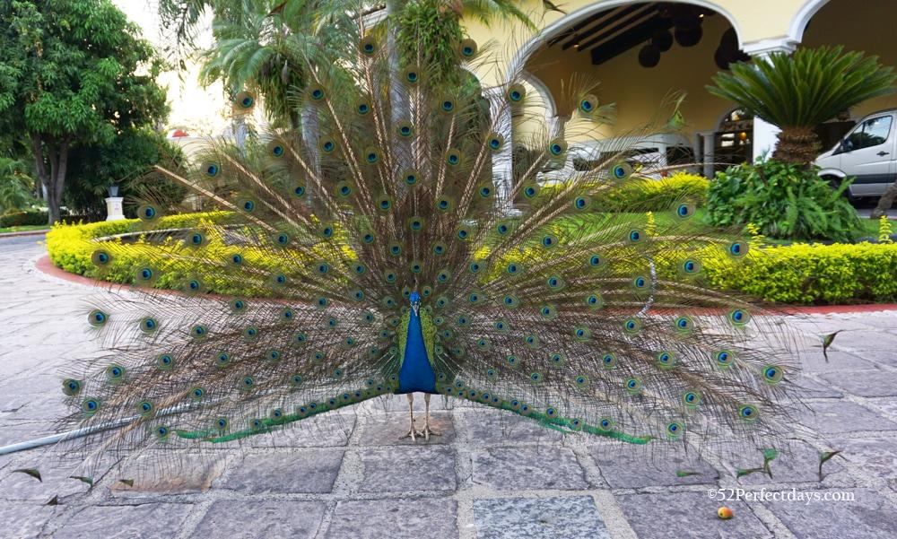 Casa Velas peacock