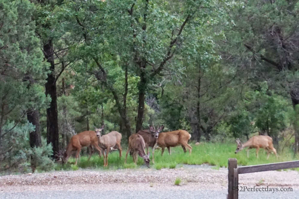 deer in Ruidoso