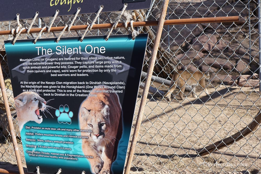 Cougars at Navajo Nation Zoo