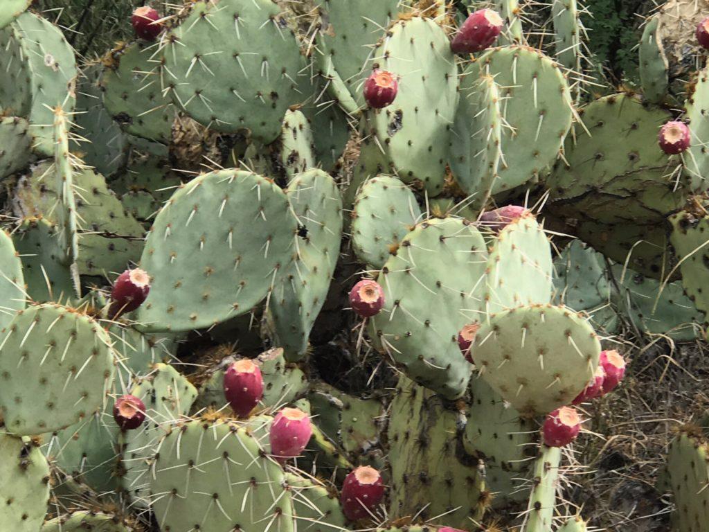 Tucson's Prickly Pear Cactus