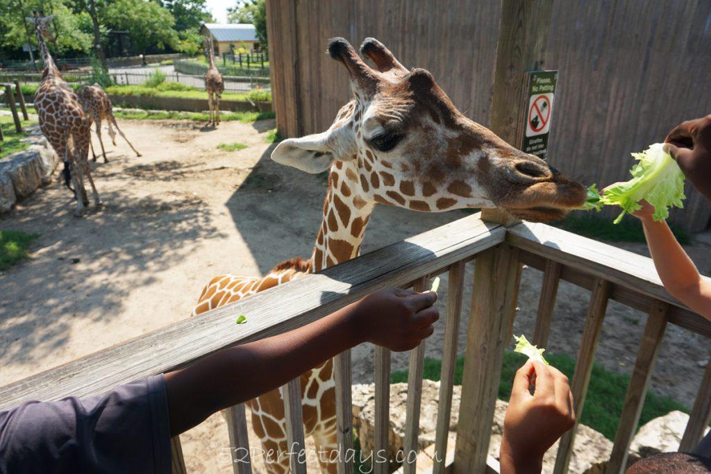 Giraffe at Wichita, Kansas Zoo