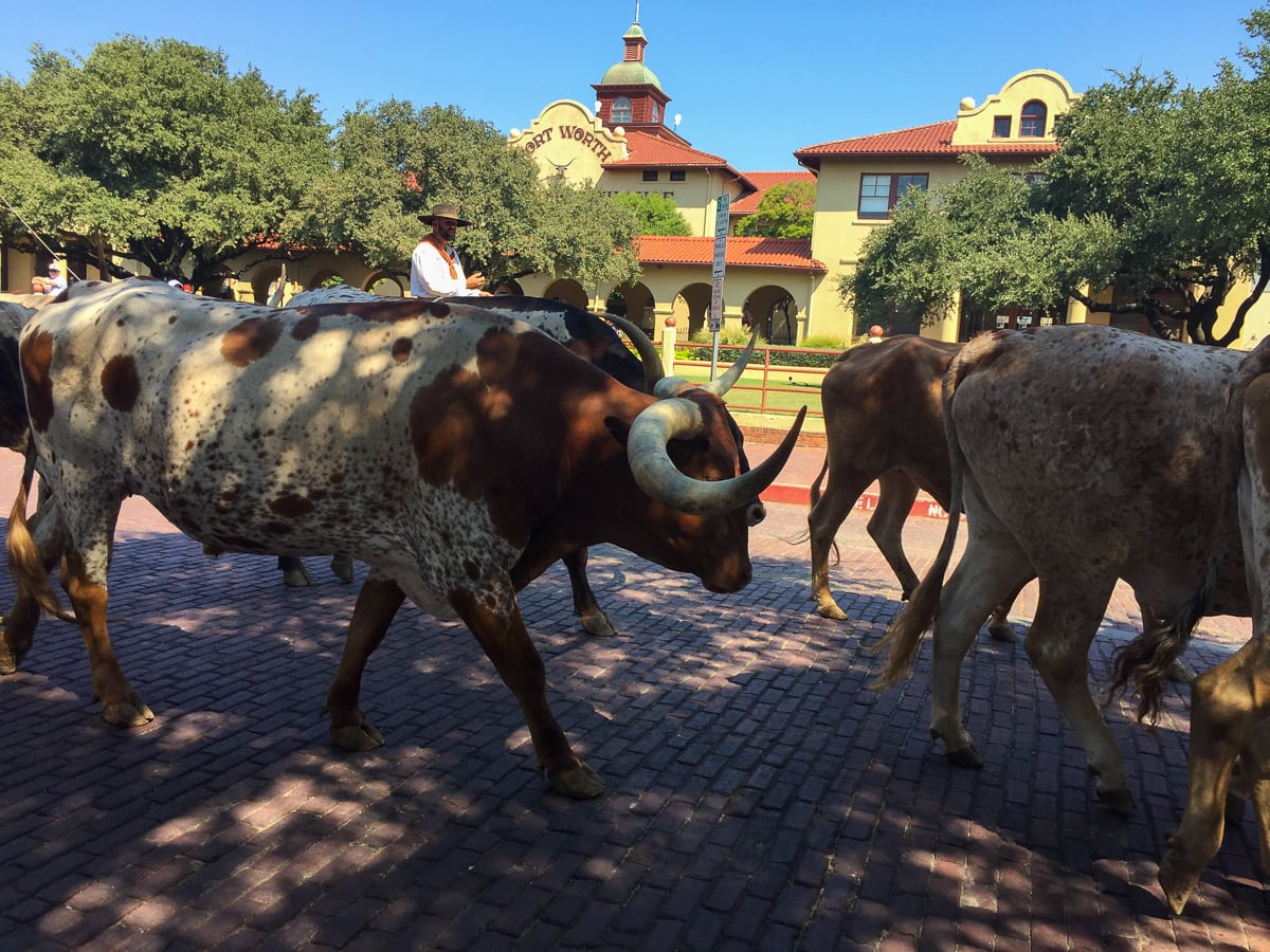 Fort Worth Herd Longhorn Cattle Drive