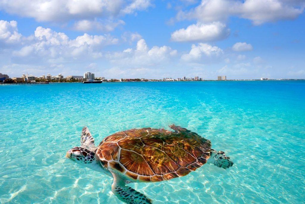 sea turtles in Cancun