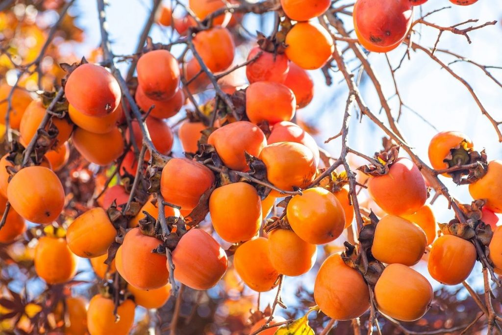 Indian Persimmon
